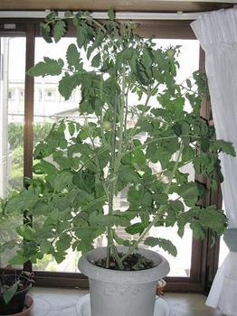 トマト100703.JPG