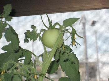 トマト100703-2.JPG